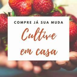 MUDAS DE MORANGO