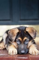 Excelentes cães da raça Pastor Alemão, com garantia, pedigree