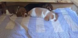 Filhotes de Beagle Inglês com Pedigree Guarapari/ES