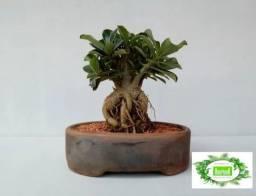 Bonsai De Rosa Do Deserto + Kit Adubo E Porta Adubo