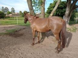 Cavalo gatiado ruivo top