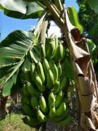 Vende - se bananas caturra