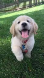 Golden (seu pet espera por você)!