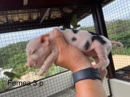 Mini pig / mini porco