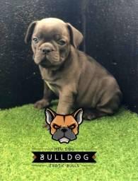 Bulldog Francês Blue solido femea