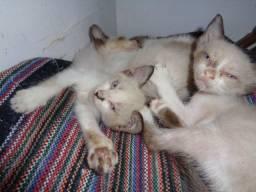 Filhotes de Gatinhos Siameses para adoção - Urgente