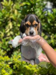 Beagle mini 13 polegadas, macho e femea com suporte veterinário!