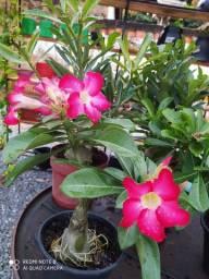 Rosa do deserto Rosa, vermelha, branca, roxa e na Ari's Floricultura.