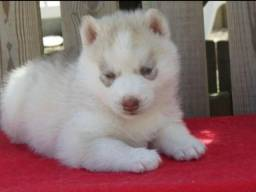Husky Siberiano - Filhotes de Husky Siberiano Disponíveis