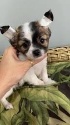 Chihuahua. Filhotes menino/menina. Pêlo curto/Pêlo longo
