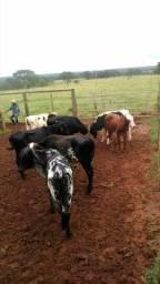 Garrotes, novilhas e vacas leiteiras