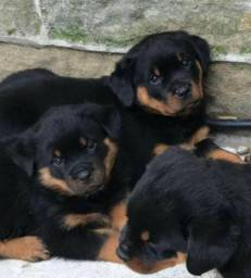 Lindos Rottweiler vacinados