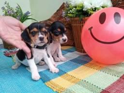 Beagles Lindas