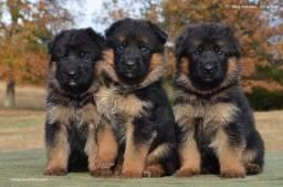 Filhotinhos de cães da raça Pastor Alemão, com recibo, garantia e pedigree