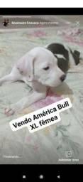 América Bull XL fêmea