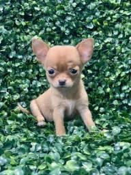 Chihuahuas fêmeas lindas é super pequenas As mais perfeitas