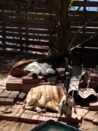 Cabras e bode