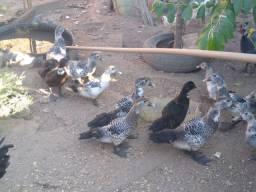 Patos todos vacinados