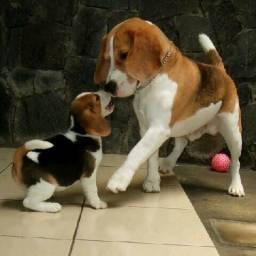 (Beagle - filhote) / Pequeno porte / Macho e fêmea.