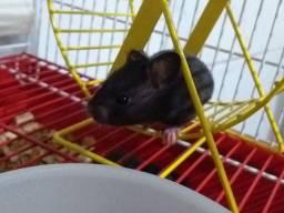 Hamster Sírios - Vendo