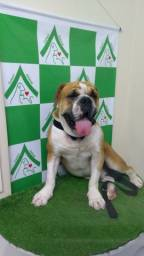 Cachorro bulldog inglês procurando namorada