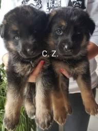 Cães filhotes de Pastor Alemão, com pedigree e garantia de saúde