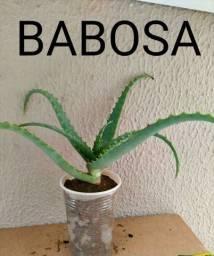 R$ 5 Mudas de babosa 5,00 whats 9686-45-03