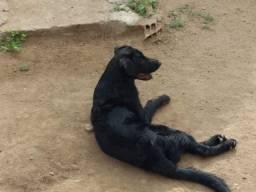 Filhote Labrador 5 meses