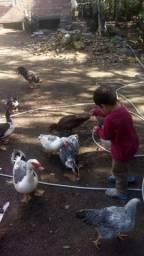 Vendo lote de pato