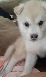 Linda filhote de husky siberiano