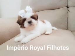 Shihtzu Fêmea e Machinho Disponível em até 10 X no Cartão! Império Royal Filhotes