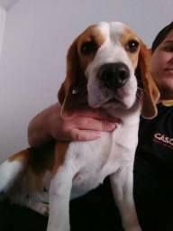 Beagle fêmea procura namorado
