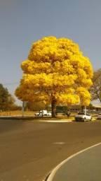 Mudas de ipe amarelo (tabebuia serratifolia)