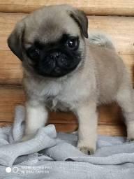Filhote de Pug macho