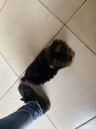Vendo cachorro macho yorkshire 2 meses