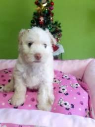 Poodle fêmea toy