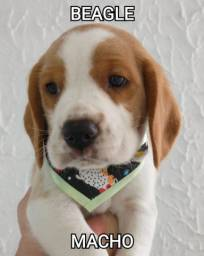 Beagle machinho fofíssimo