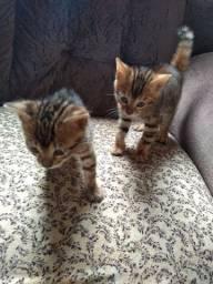 Filhotes de gatos Bengal