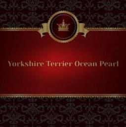Yorkshire Terrier Ocean Pearl. (todo dourado)