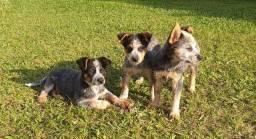 Filhotes de Australian Cattle Dog