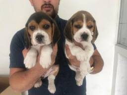 Beagle Mini, bicolor e tricolor, com suporte veterinário gratuito