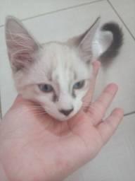 Filhotes de gatos vermifugados e vacinados.