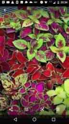 Vende-se planta Suculenta e Coração maguado R$3,00