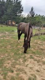 Cavalo Capado manso para crianças