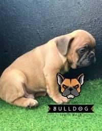 Bulldog Frances blue Fawn