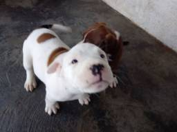American Staffordshire Terrier 500,00