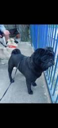 Pug black Para cruza