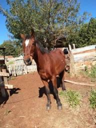 Cavalo mangalarga com quarto de milha