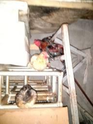 Vendo 8 galinhas sendo 5 galinha de raça 1 galo de raça 2 mistissa total de 8 galinhas