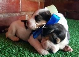 Filhote de Beagle macho e fêmea. Com pedigree, recibo e garantia